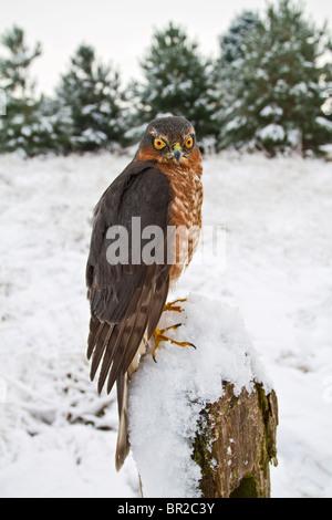 Sparrowhawk männlich (Accipiter Nisus) auf verschneiten Zaunpfosten - Stockfoto