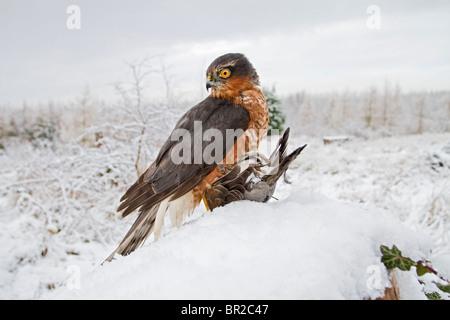 Sparrowhawk männlich (Accipiter Nisus) im Schnee mit Beute - Stockfoto