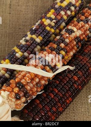 Nahaufnahme des Indischen Mais Ohren - Stockfoto