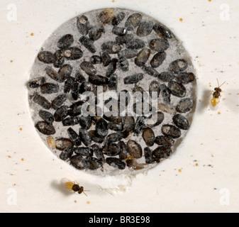 Erwachsenen Encarsia Formosa Wespen geschlüpft auf Karte für den gewerblichen Einsatz in geschützten Pflanzen - Stockfoto