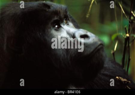 Berggorillas im Virunga Nationalpark. - Stockfoto