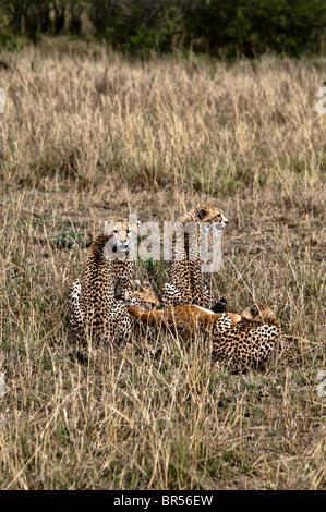 Junge Geparden, Acinonyx Jubatus, Fütterung auf eine Impala, Masai Mara National Reserve, Kenia, Afrika - Stockfoto