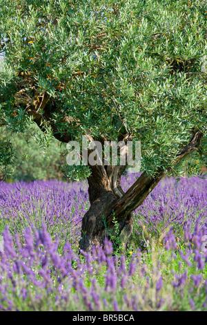 Europa, Frankreich, Vaucluse (84), Olive Tree in einem Lavendelfeld - Stockfoto