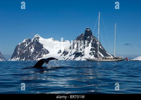 """Ein Buckelwal (Impressionen Novaeangliae) Egel Schwanzspitze in der Nähe von SY """"Adele"""", 180 Fuß Hoek Design in - Stockfoto"""