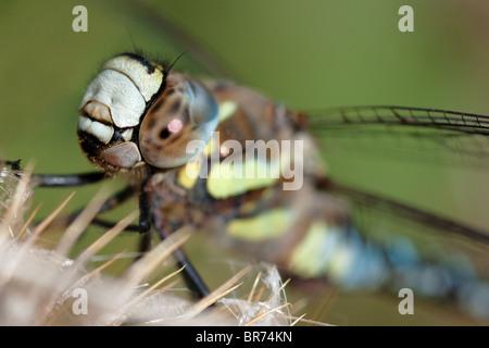Makroaufnahme einer männlichen Migranten Hawker Libelle (Aeshna Mixta). - Stockfoto