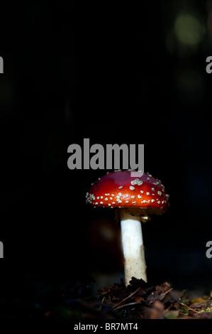 Amanita muscaria, Agaric Pilz in einem englischen Wald fliegen. - Stockfoto