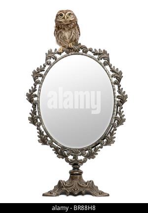 Steinkauz, 50 Tage alt, Athene Noctua, vor einem weißen Hintergrund mit einem Spiegel - Stockfoto
