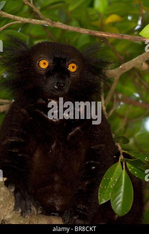Männliche schwarze Lemur, Eulemur Macaco - Stockfoto