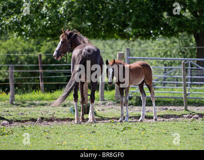 Morgan Horse Stute und Fohlen in einem Feld - Stockfoto