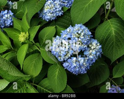 Hortensie Pflanze mit blauen und lila Blumen und tiefgrünen Blätter in voller Blüte im Sommer - Stockfoto
