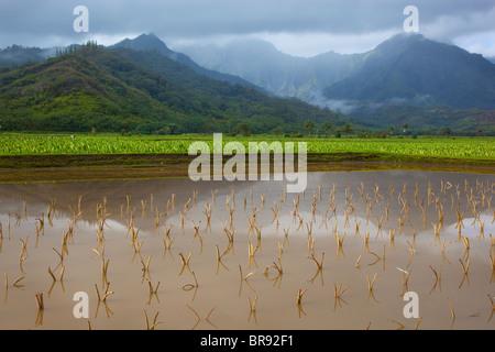 Kauai, HI: Hanalei Tal Taro-Felder in Hanalei National Wildlife Refuge - Stockfoto