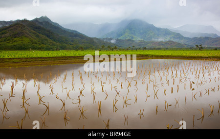 Kauai, HI: Hanalei Tal Taro-Felder in Hanalei National Wildlife Refuge - Stockfoto
