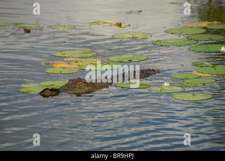Ein Salzwasser-Krokodil (Crocodylus Porosus) schweben zwischen Seerosen in Yellow Waters Billabong, Kakadu National - Stockfoto