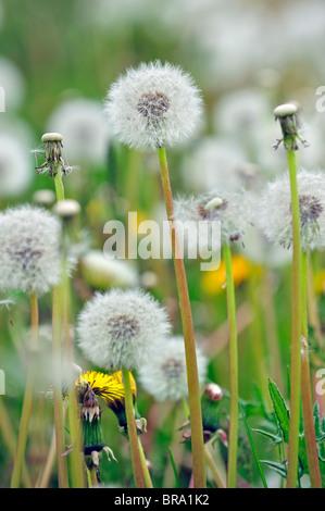 Gemeinsamen Löwenzahn (Taraxacum Officinale) Seedheads auf Wiese, Belgien - Stockfoto