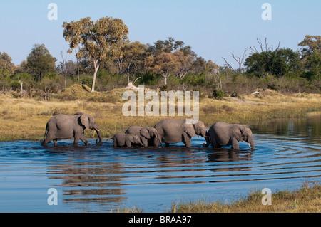 Elefant (Loxodonta Africana), Savute Kanal, Linyanti, Botswana, Afrika - Stockfoto