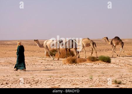 Ein Kamel Herde in der Fezzan Wüste, Libyen, Nordafrika, Afrika - Stockfoto