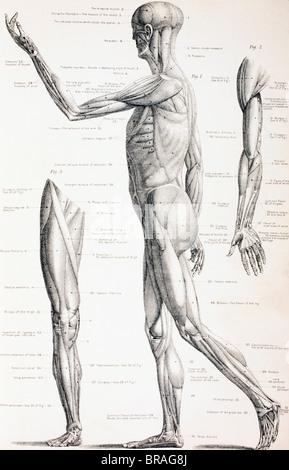 Muskeln des menschlichen Körpers Stockfoto, Bild: 65806809 - Alamy