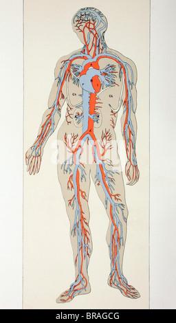 Menschlichen Körper mit Blutgefäßen Stockfoto, Bild: 56680629 - Alamy