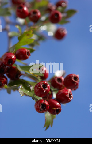 crataegus monogyna wei dorn hecke mit beeren und frost stockfoto bild 51956762 alamy. Black Bedroom Furniture Sets. Home Design Ideas