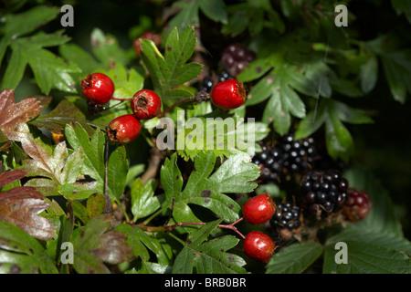 natürliche Waldbeeren auf den gemeinsamen Weißdorn Crataegus Monogyna Baum und Brombeeren in Großbritannien Irland - Stockfoto