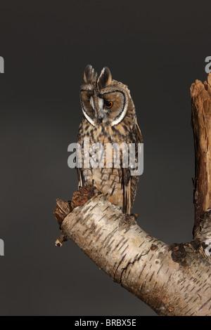 Lange eared Eule (Asio Otus) auf der Suche nach Beute - Stockfoto