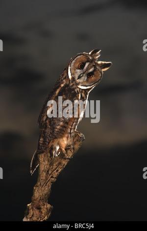 Lange eared Eule auf Ast in der Abenddämmerung (Asio Otus) - Stockfoto