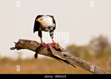 African Fish Eagle, Haliaeeyus Vocifer oben in einem Baum essen eine Fisch, Masai Mara National Reserve, Kenia, - Stockfoto