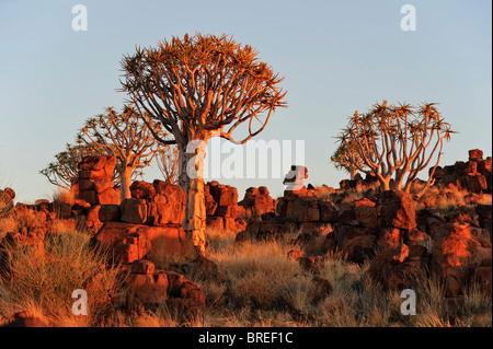 Der Köcherbaum (Aloe dichotoma) nach Sonnenuntergang im Köcherbaumwald auf der garas Camp, in der Nähe von Keetmanshoop, - Stockfoto