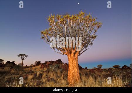 Der Köcherbaum (Aloe dichotoma) nach Sonnenuntergang im Köcherbaumwald auf der garas Camp in der Nähe von Keetmanshoop, - Stockfoto
