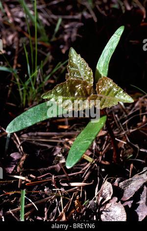 Erlen (Alnus) Sämling und Blättern wächst aus der Boden im Frühjahr - Stockfoto