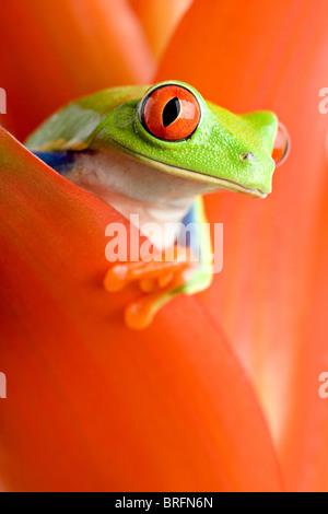 Frosch in einer Anlage - rotäugigen Baumfrosch aus einem Guzmanie herausschauen. Nahaufnahme, Schwerpunkt Auge. - Stockfoto