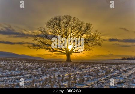 Ein Foto von einer großen Eiche am Abend die Sonne setzt sich in Central PA von Matt Ware genommen. - Stockfoto