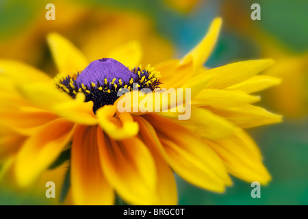 Goldlöckchen Black Eyed Susan. Oregon - Stockfoto