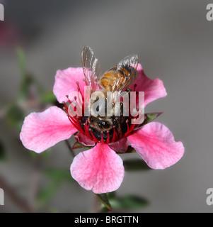 Honigbiene auf Neuseeland Teepflanze vor verschwommenen natürlichen Hintergrund - Stockfoto