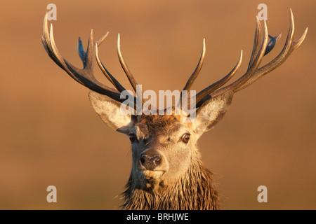 Rothirsch (Cervus Elaphus) bei Sonnenuntergang, Spurrinnen Saison, Isle of Mull, innere Hebriden, Schottland - Stockfoto