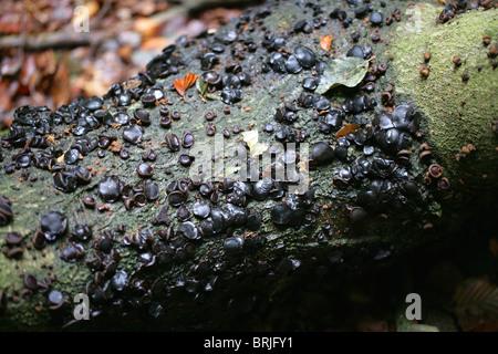 Schwarz Bulgar, Gum Pilz, Gelee Tropfen oder Gummiknöpfen, Bulgarien Inquinans, Bulgariaceae - Stockfoto