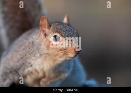 Grau / graue Eichhörnchen bereit für Aktion in St James' Park, London, UK - Stockfoto