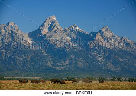 Eine Herde Bisons grasen vor der Teton. - Stockfoto