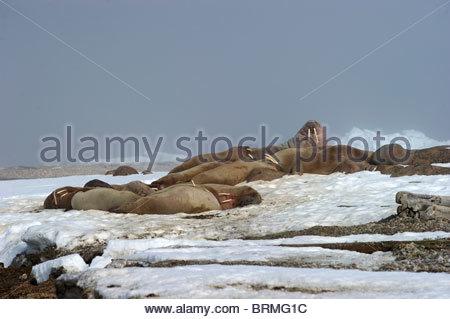 Eine kleine Herde von männlichen Walross (Odobenus Rosmarus) holte auf dem Schnee - Stockfoto