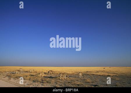 Eine Weitwinkelaufnahme Burchell Zebras in der Prärie in Etosha - Stockfoto