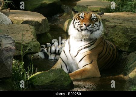 Bengal Tiger liegend zwischen Felsen - Stockfoto