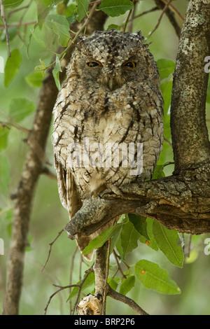 Afrikanische Zwergohreule Eule auf einem Ast - Stockfoto