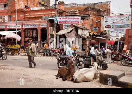Kühe auf der Straße in Jaipur, Indien - Stockfoto