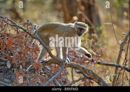 Meerkatze (chlorocebus pygerythrus), Kabinen drotsky's Campingplatz, Botswana, Afrika - Stockfoto