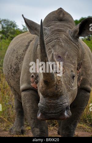 Weiß oder Square-lippige Rhinoceros (Ceratotherium Simum) in die Kamera starrt - Stockfoto