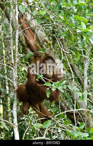 Junge männliche Orang-Utan im Baum, Borneo, Indonesien - Stockfoto