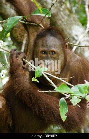 Junge männliche Orang-Utan, Borneo, Indonesien - Stockfoto