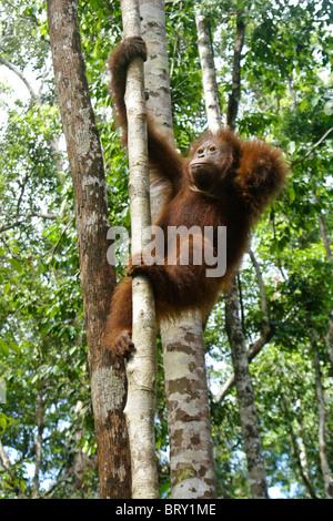 Junger Orang-Utan Kletterbaum, Borneo, Indonesien - Stockfoto