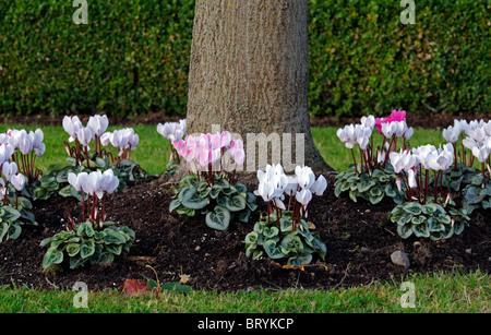 Cyclamen Hederifolium rosa weiße Blumen unter unter einem Baum ...
