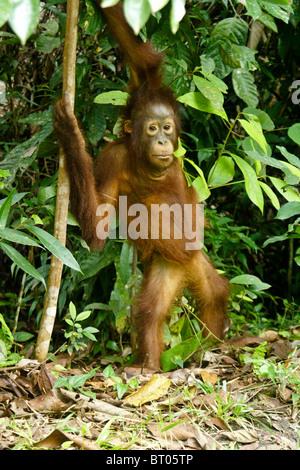 Junger Orang-Utan, Borneo, Indonesien - Stockfoto